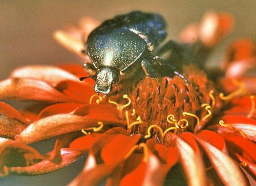 июньский жук-бронзовка